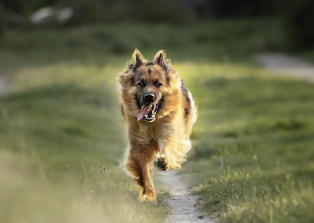Selektive fokusaufnahme eines entzückenden deutschen schäferhundes