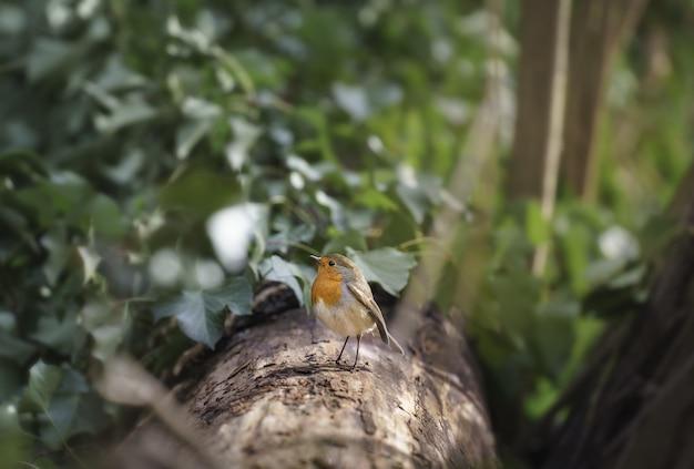 Selektive fokusaufnahme eines entzückenden rotkehlchenvogels, der auf dem baum mit grünen, dichten blättern steht