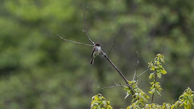 Selektive fokusaufnahme eines fliegenfängers auf einem ast