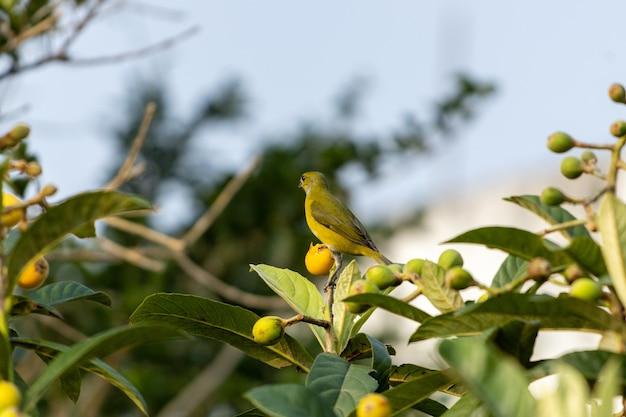 Selektive fokusaufnahme eines grünfinks, der auf einem ast sitzt