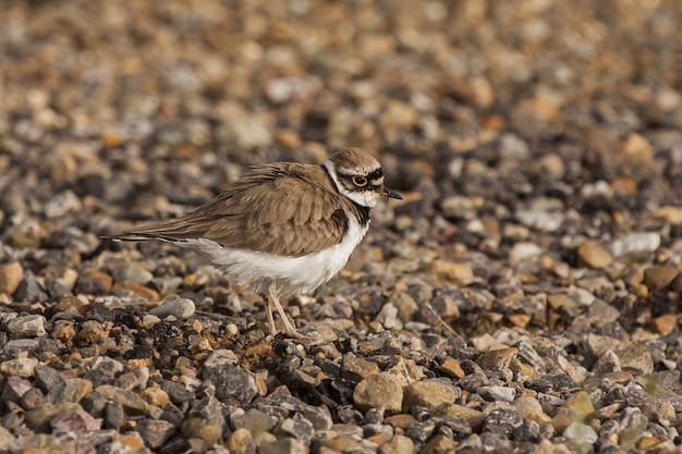 Selektive fokusaufnahme eines kleinen schönen vogels, der auf dem felsbedeckten boden geht