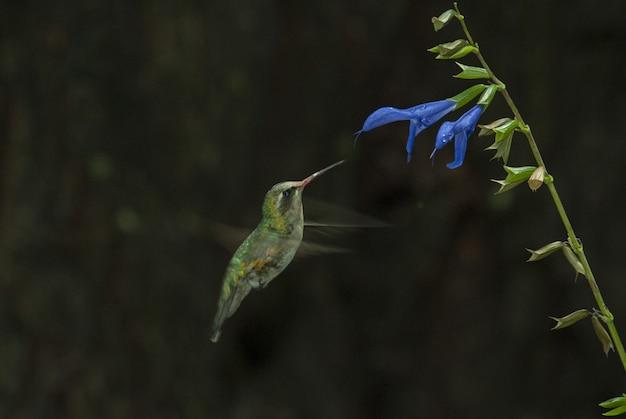 Selektive fokusaufnahme eines niedlichen colibri, der den geschmack einer blauen blume riecht
