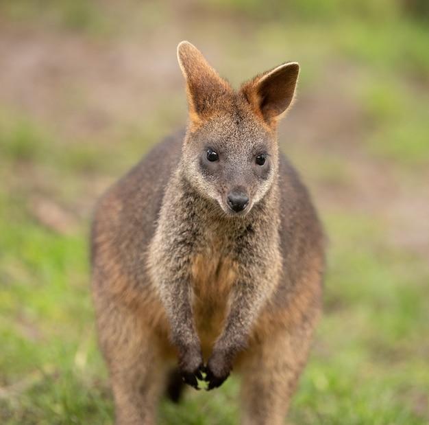 Selektive fokusaufnahme eines niedlichen wallabys