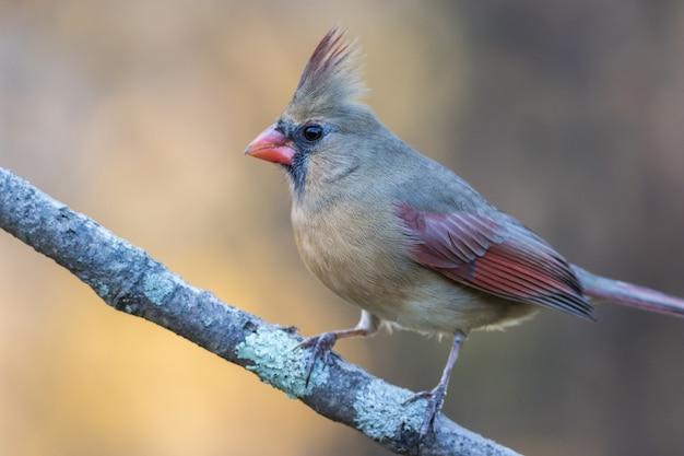 Selektive fokusaufnahme eines nördlichen kardinals, der auf einem ast sitzt