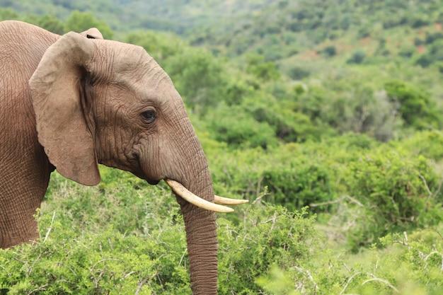 Selektive fokusaufnahme eines prächtigen elefanten mit den schönen bäumen