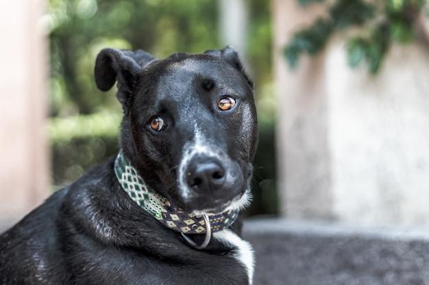 Selektive fokusaufnahme eines schwarzen labrador retriever-hundes