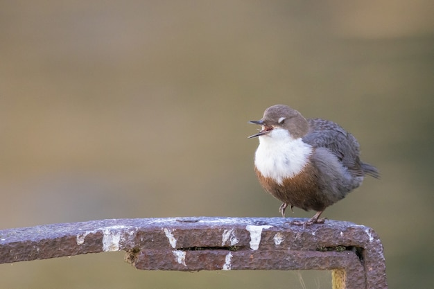 Selektive fokusaufnahme eines wasseramselvogels, der auf einem metall sitzt