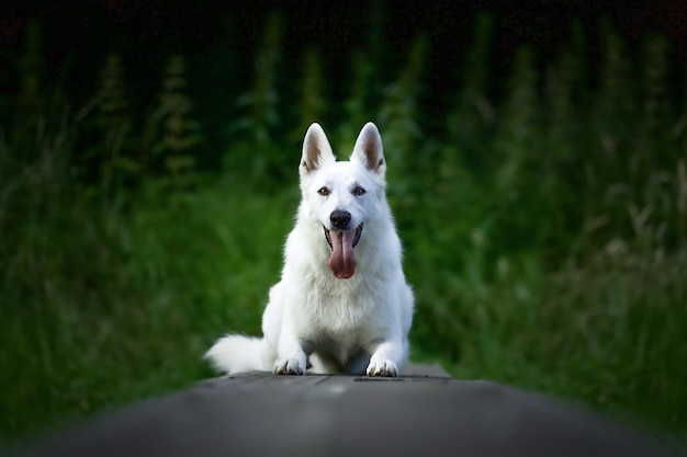 Selektive fokusaufnahme eines weißen schweizer schäferhundes, der im freien sitzt