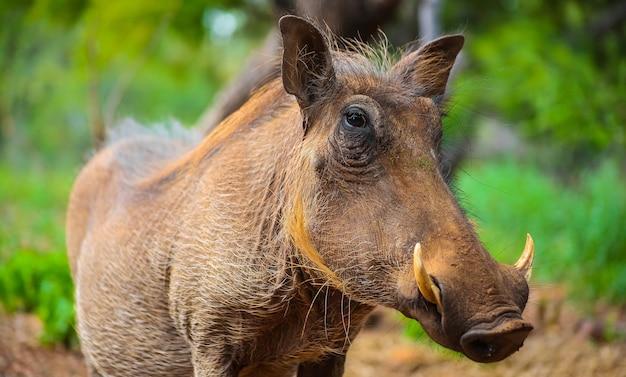 Selektive fokusaufnahme eines wilden afrikanischen warzenschweins in einem südafrikanischen wildreservat