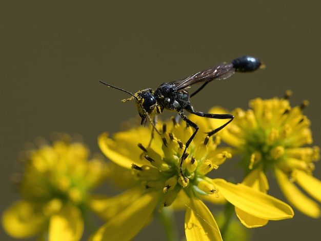 Selektive fokusaufnahme von ammophila-wespen auf einer gelben blume