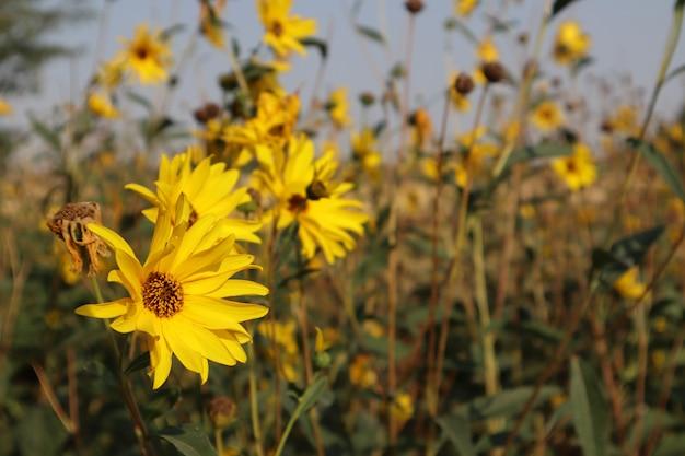 Selektive fokusaufnahme von gelben kleinen sonnenblumen, die mit einem unscharfen hintergrund blühen bloom