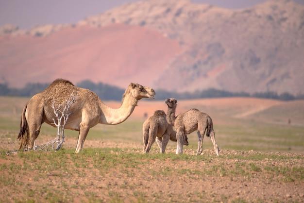 Selektive fokusaufnahme von kamelen und kamelbabys, die gras fressen und durch die wüste streifen