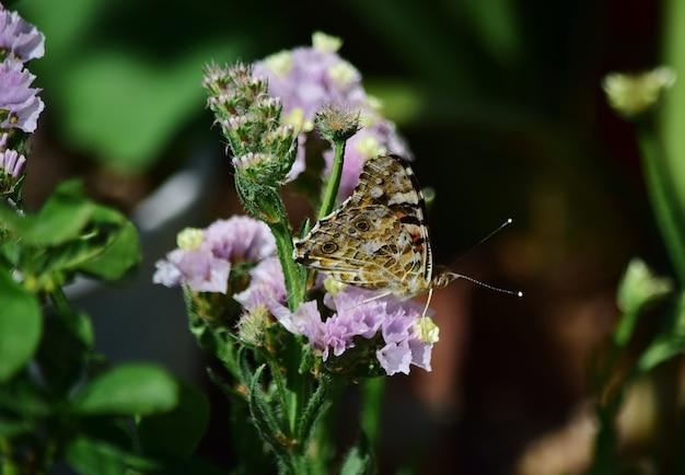 Selektive fokusaufnahme von vanessa cardui-schmetterling, der pollen auf statice-blumen sammelt