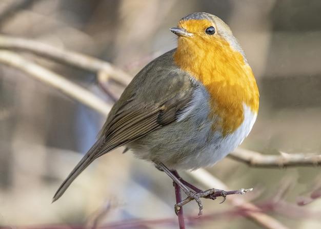 Selektive fokusnahaufnahme des robin-vogels, der auf dem stamm eines baumes hockt