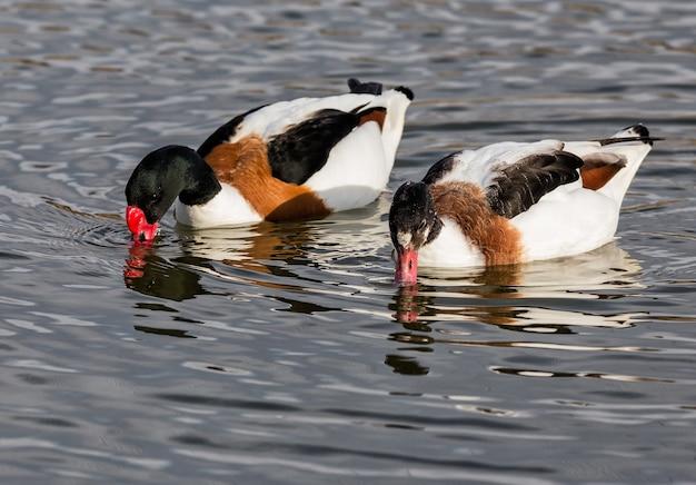 Selektive fokusnahaufnahme von männlichen und weiblichen brandgänsen, die im teich in einem naturpark schwimmen?