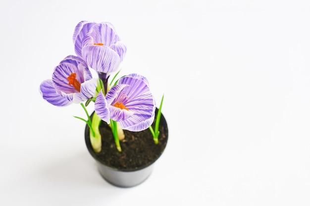 Selektiver fokus auf blumen. junge pflanzen wachsen aus dem boden. violetter krokus im topf auf dem weiß. endergebnis der verpflanzung der pflanze zu hause