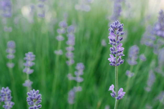 Selektiver fokus auf die lavendelblüte im blumengarten im sommer