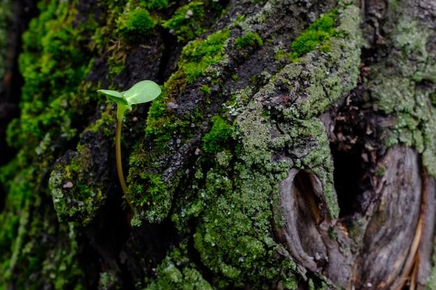 Selektiver fokus auf einen einsamen kleinen grünen parasitären sprössling auf einer baumrinde