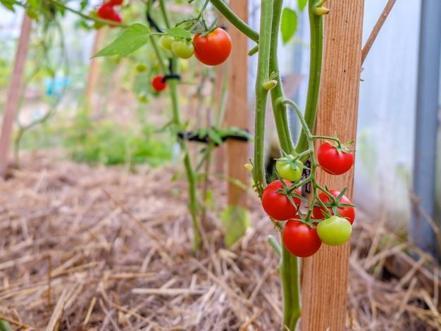 Selektiver fokus auf reife rote tomaten an den zweigen im gewächshaus