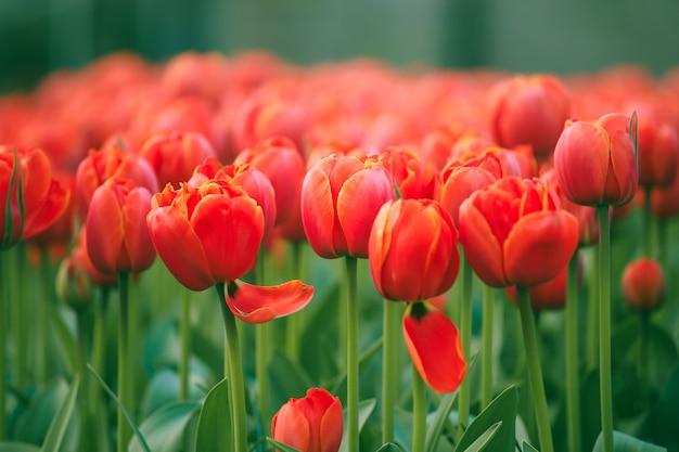 Selektiver fokus auf schönen roten tulpen am keukenhof-garten von den niederlanden