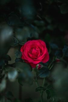 Selektiver fokus blühende rosenblume