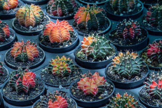Selektiver fokus buntes gymnocalycium mihanovichii.
