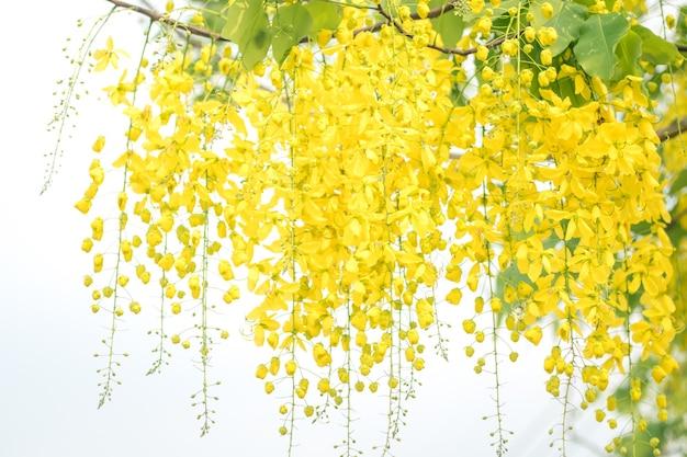 Selektiver fokus cassia fistula nationalblume von thailand golden shower tree. golden shower blumen oder ratchaphruek, gelbe blumen aquarell-look auf weißem hintergrund