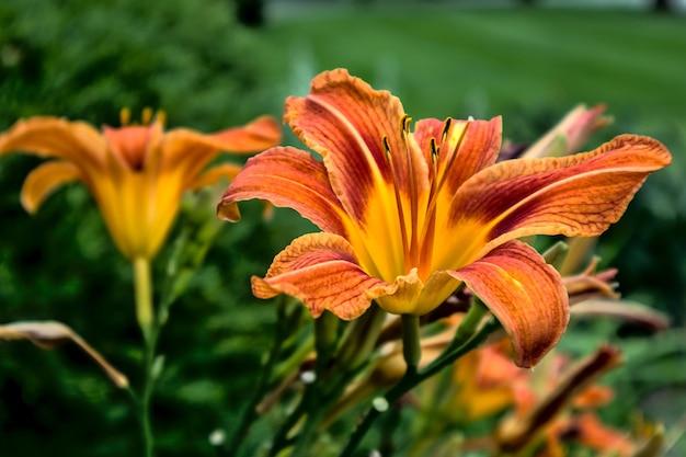 Selektiver fokus der nahaufnahme einer orangefarbenen lilie