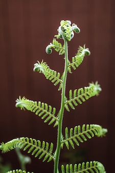 Selektiver fokus des grünen farnblattes