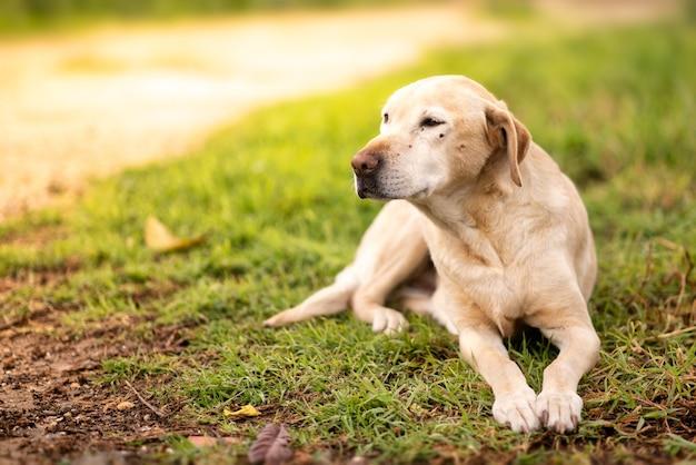 Selektiver fokus des labrador retriever-hundes, der auf dem gras sitzt