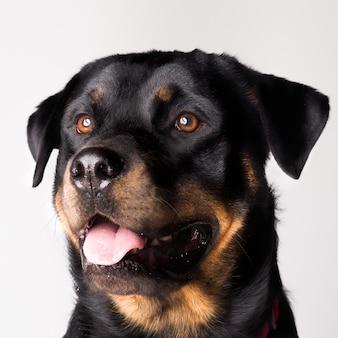 Selektiver fokus des rottweiler-hundes mit seiner zunge heraus lokalisiert auf einem weißen hintergrund