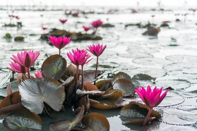 Selektiver fokus des schönen bunten blumenlotus im teich mit sommerbokehhintergrund.