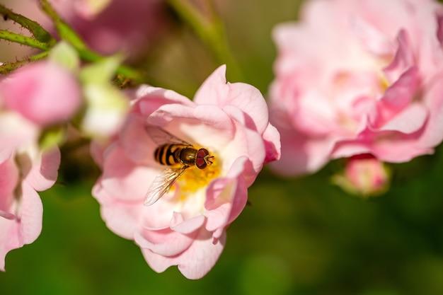 Selektiver fokus einer biene, die pollen von der hellrosa rose sammelt