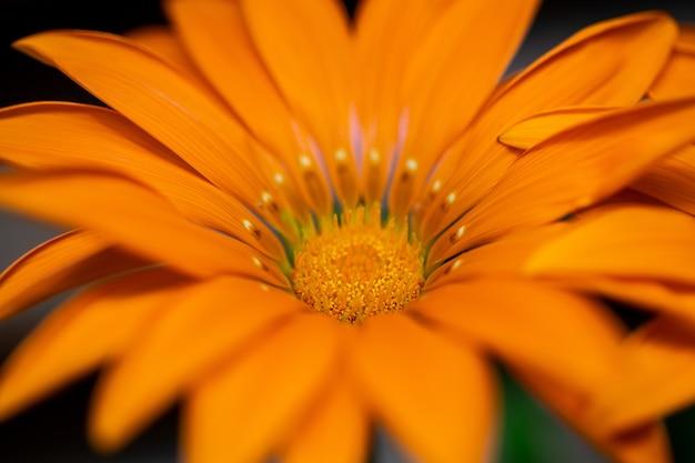 Selektiver fokus einer symmetrischen orangefarbenen blume mit langen schmalen blütenblättern