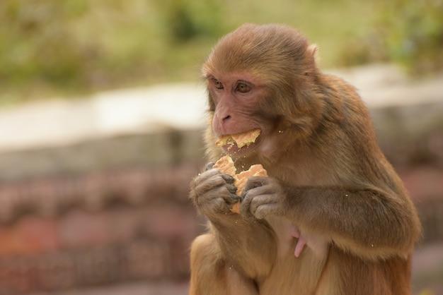 Selektiver fokus eines beigen affen, der isst