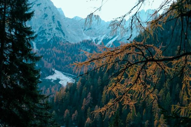 Selektiver fokus eines gelben lärchenastes mit einem baum bedeckte berge