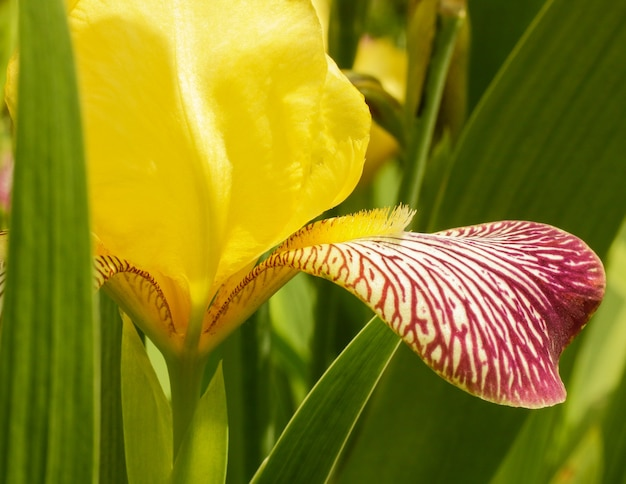 Selektiver fokus eines giardino dell iris in der provinz lori in armenien