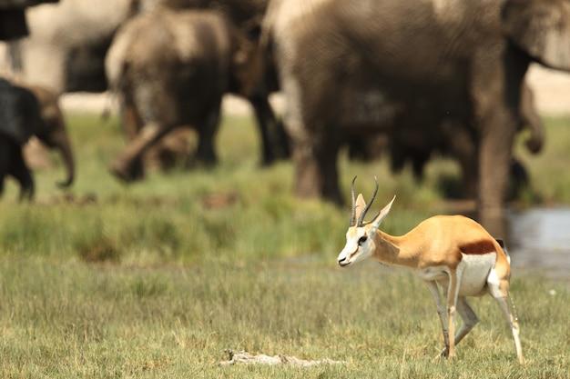 Selektiver fokus nahaufnahme eines jungen edelsteinbocks, der mit einer herde von elefanten steht