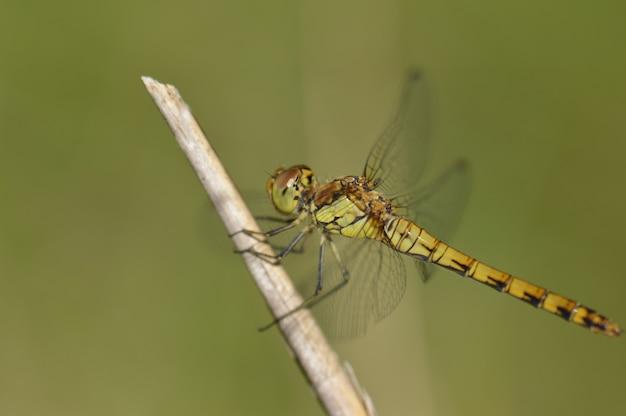 Selektiver fokus nahaufnahme schuss einer grünen libelle auf einem ast thronend