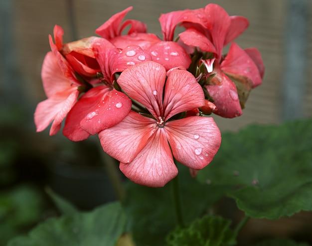 Selektiver fokus nahaufnahme von roten pelargonienblüten mit wassertau