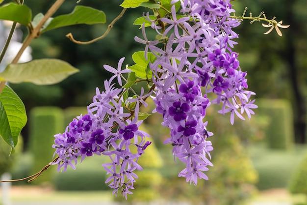 Selektiver fokus petrea volubilis blume in einem garten. allgemein bekannt als lila kranzblume, königinnenkranz, sandpapierrebe und nilmani.