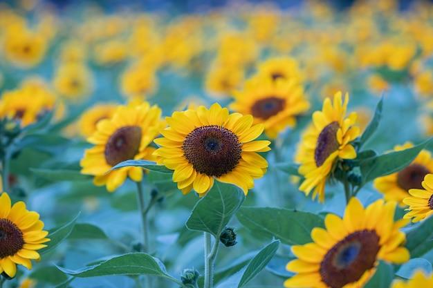 Selektiver fokus sonnenblumen in der natur. schöne gelbe blumen im feld.