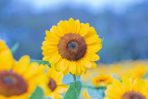 Selektiver fokus sonnenblumen in einem naturhintergrund. schöne gelbe blumen im feld.