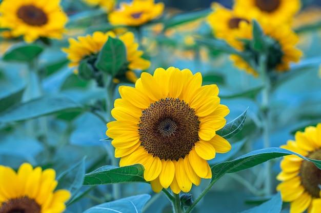 Selektiver fokus sonnenblumen in einem naturhintergrund