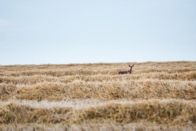 Selektiver fokus von hirschen auf einem mit getrocknetem gras bedeckten feld auf dem lande