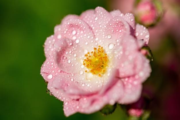 Selektiver fokus von rosa rosen mit tau