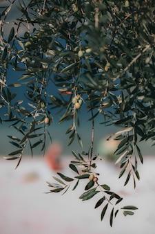 Selektiver fokus von runden grünen früchten, die vom baum hängen