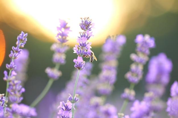 Selektiver fokus von schönen violetten blumen, die im ländlichen ackerland blühen, sonnenuntergang