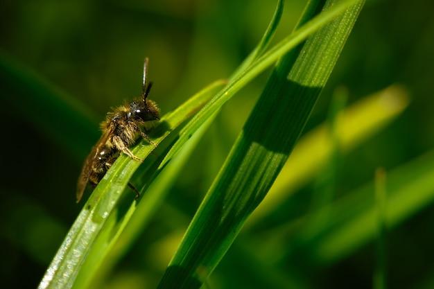Selektiver fokusschuss der nahaufnahme einer honigbiene, die auf einer grünen pflanze steht