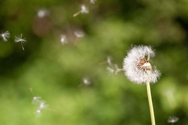 Selektiver fokusschuss der nahaufnahme einer niedlichen löwenzahnblütepflanze